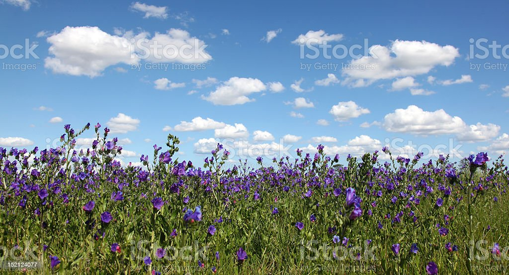 Violet Wildflower royalty-free stock photo