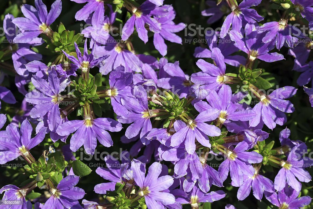 Violet Wildflowers at Roadside royalty-free stock photo