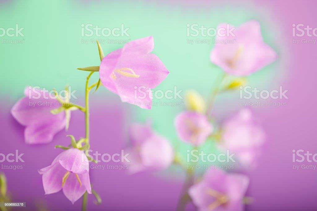 Violet-blue flowers Campanula persicifolia (peach-leaved bellflower) stock photo