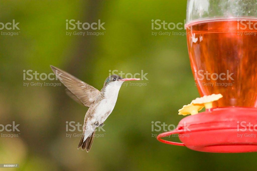 Violet-crowned Hummingbird Feeder royalty-free stock photo