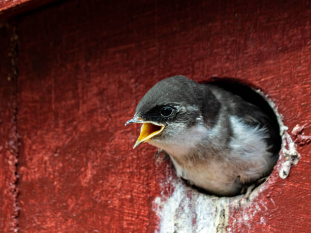 Violet-green Swallow Chick stock photo