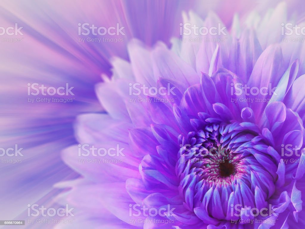 violet-pink blurred background. flower dahlia on the  blurred background. floral composition. card for the holiday.  Nature. stock photo