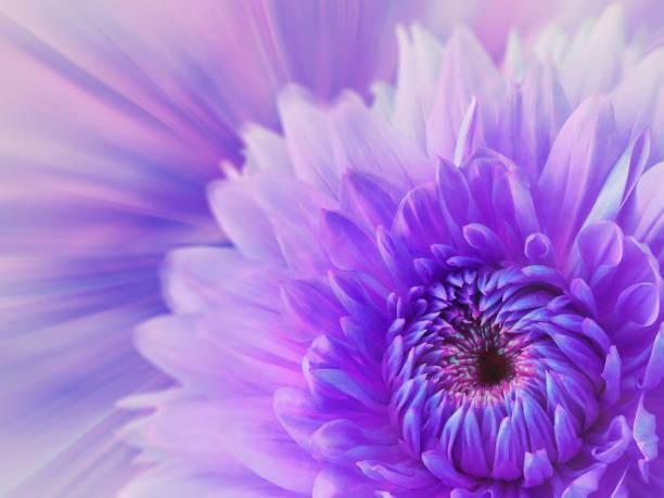violeta-rosa fundo desfocado. Dália de flor sobre o fundo desfocado. composição floral. cartão para o feriado.  Natureza. - foto de acervo