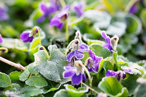 Flowers of violets blooming in spring after a frost night