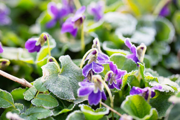 violets covered with hoar frost stock photo