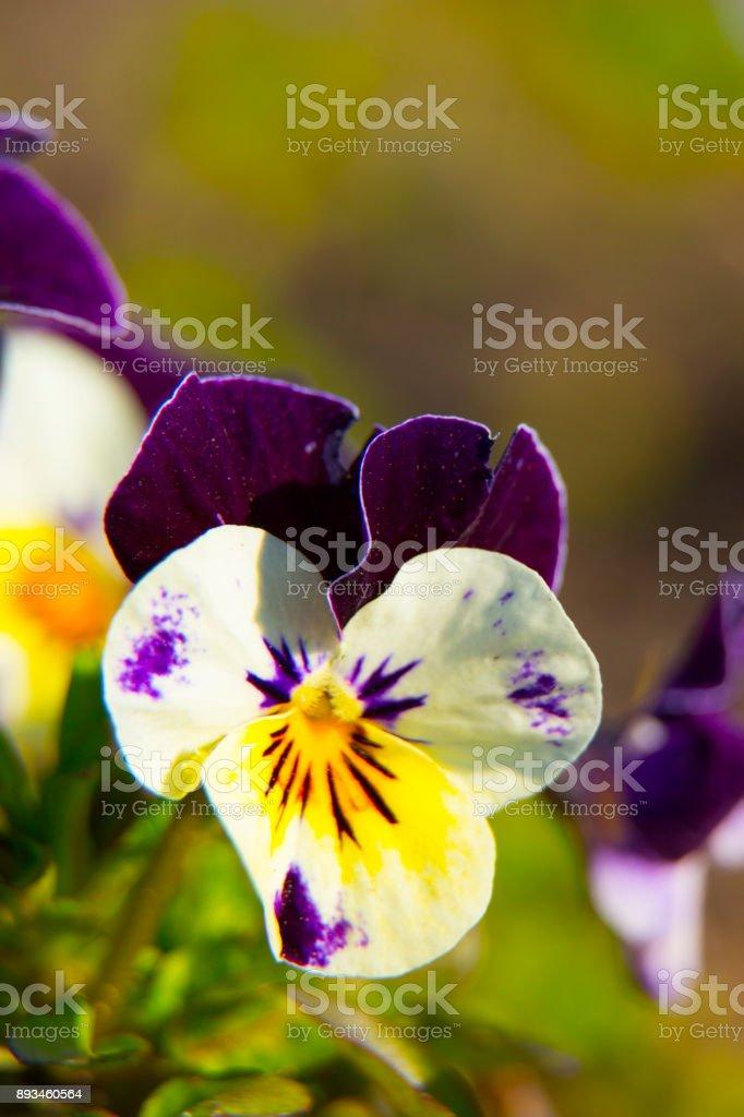 Violets flowers. Orange pansy. background stock photo