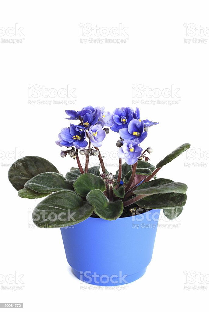 Violets in a pot. royalty-free stock photo