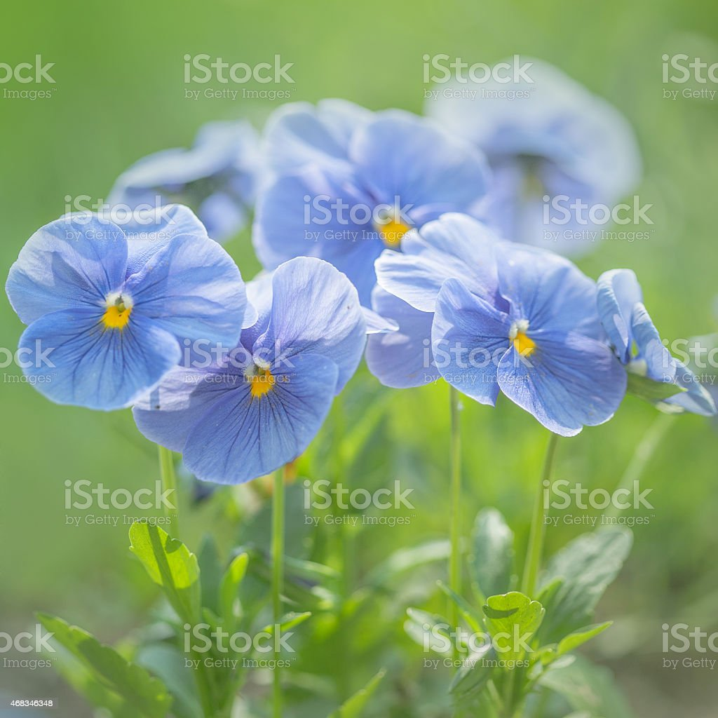 Violets in the field royalty-free stock photo