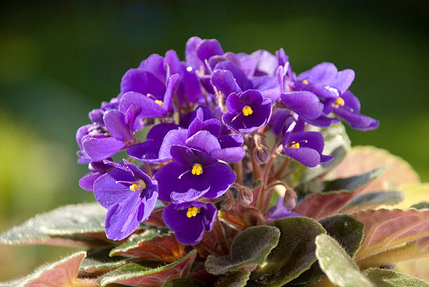Violets  in the Sunlight 9763777 stock photo