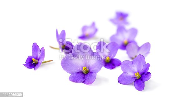 Violets flowers on white background. Soft focus image with blurred perspective