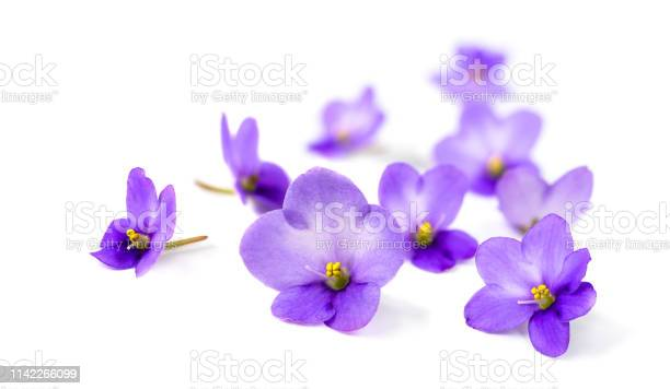 Violets on white background picture id1142266099?b=1&k=6&m=1142266099&s=612x612&h= cr99hbpub au7j4rolkga1xs0 7dupm5nvzhbpzbio=