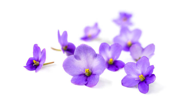 Violets on white background. stock photo