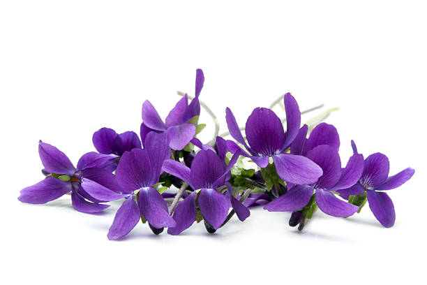 violets - violet stock photos and pictures