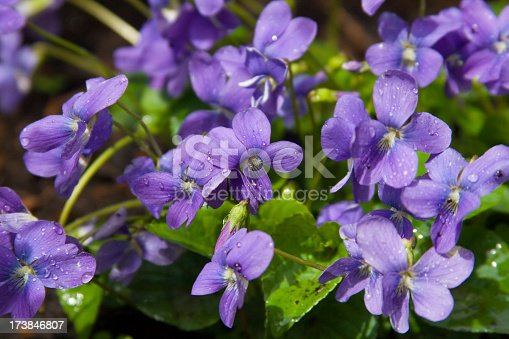 Cluster of wild violets growing outdoors with dew drops.