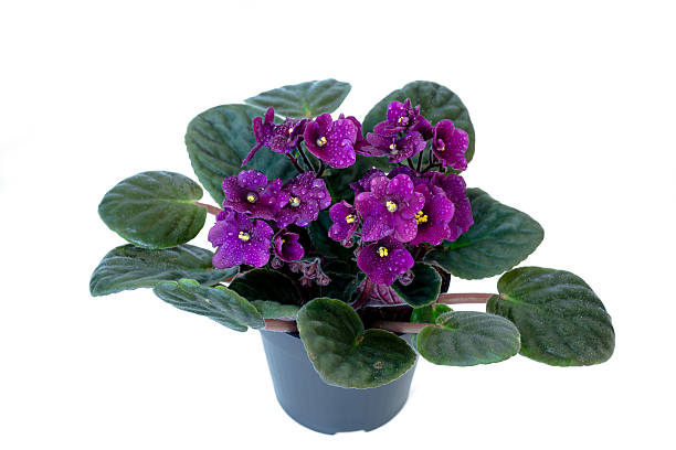 Violets with water drops. stock photo