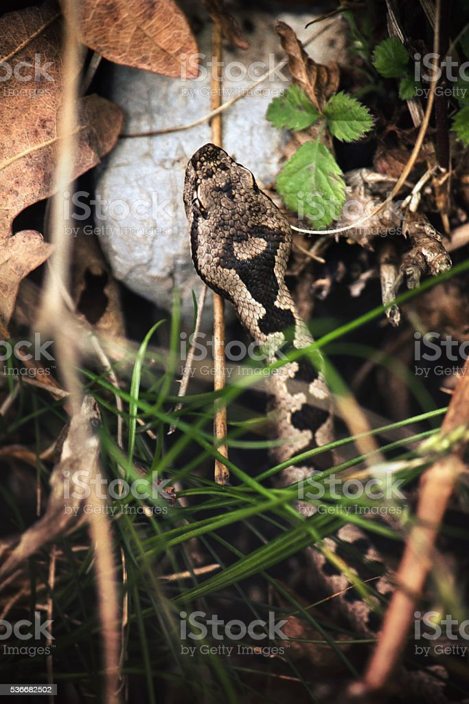viper camouflage in the undergrowth stock photo