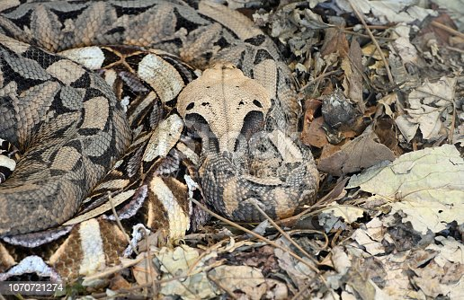 """Almost perfect camouflage of the Gaboon viper (Bitis gabonica), resting on leaves in Zimbabwe, South Africa. Light colored """"leaf"""" near the center is actually a head of this highly venomous and the largest viper in Africa, which can reach lenght of 2 meters and 20 kg weight. It is responsible for causing the most snakebite fatalities in Africa."""