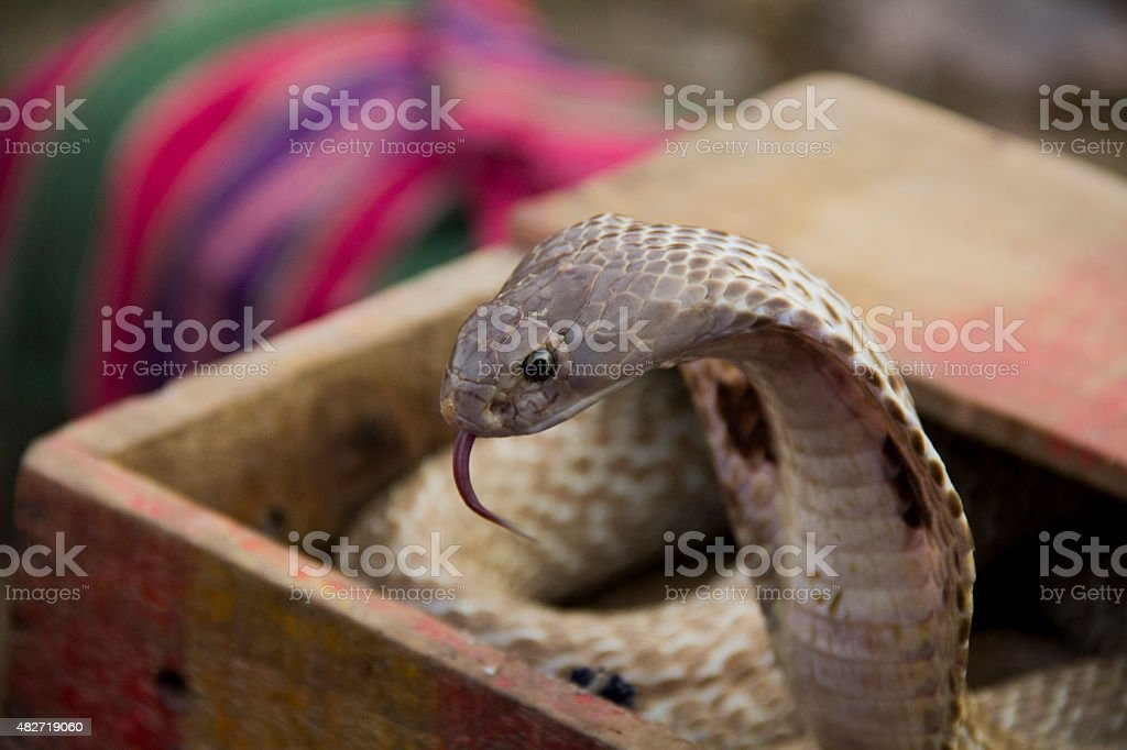 Viper cobra snake stock photo