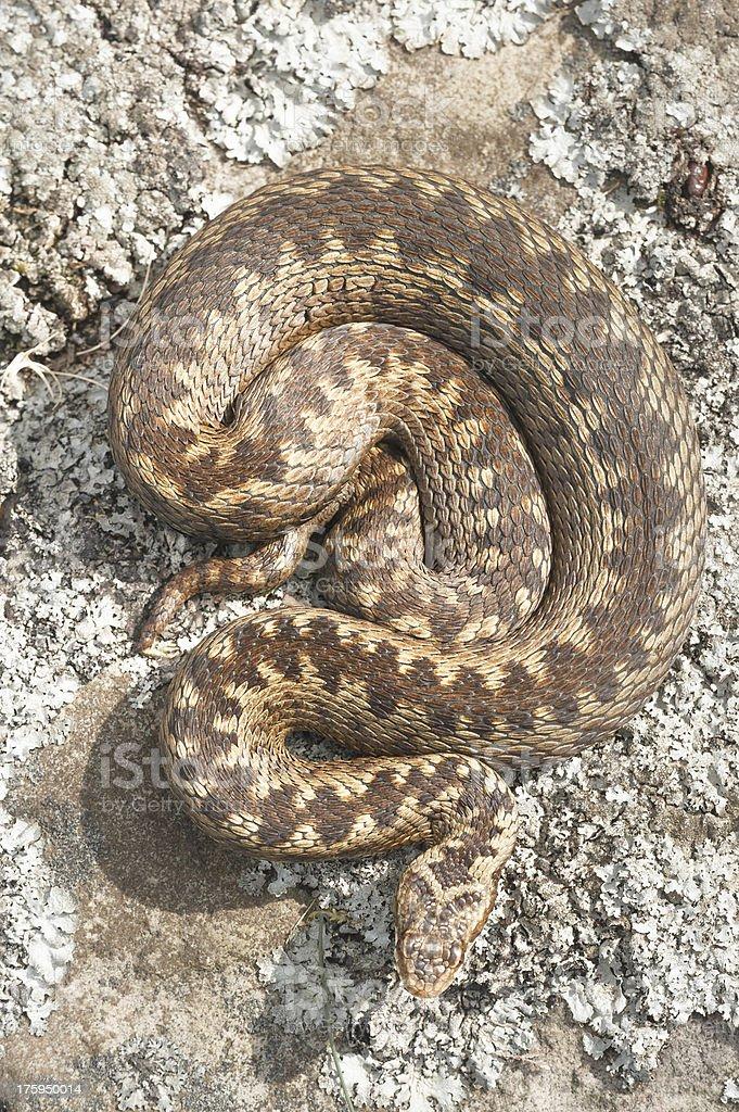 Viper stock photo
