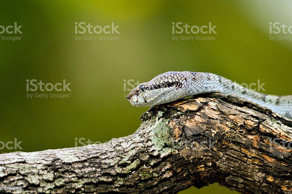 viper snake royalty-free stock photo