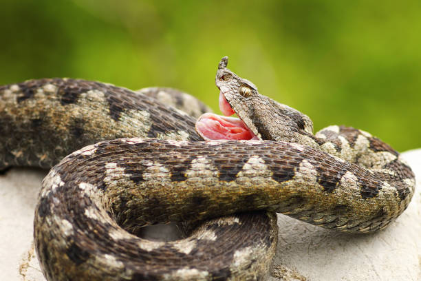 vipera ammodytes showing its fangs - snake strike stock photos and pictures