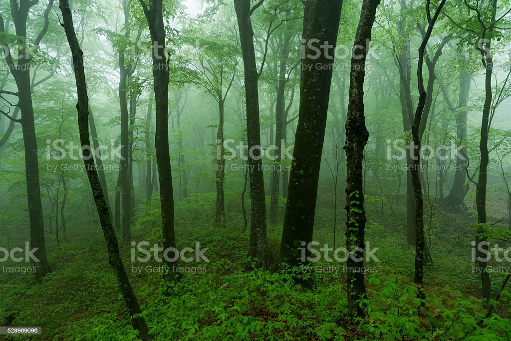Virgin forest of Japanese Beech stock photo