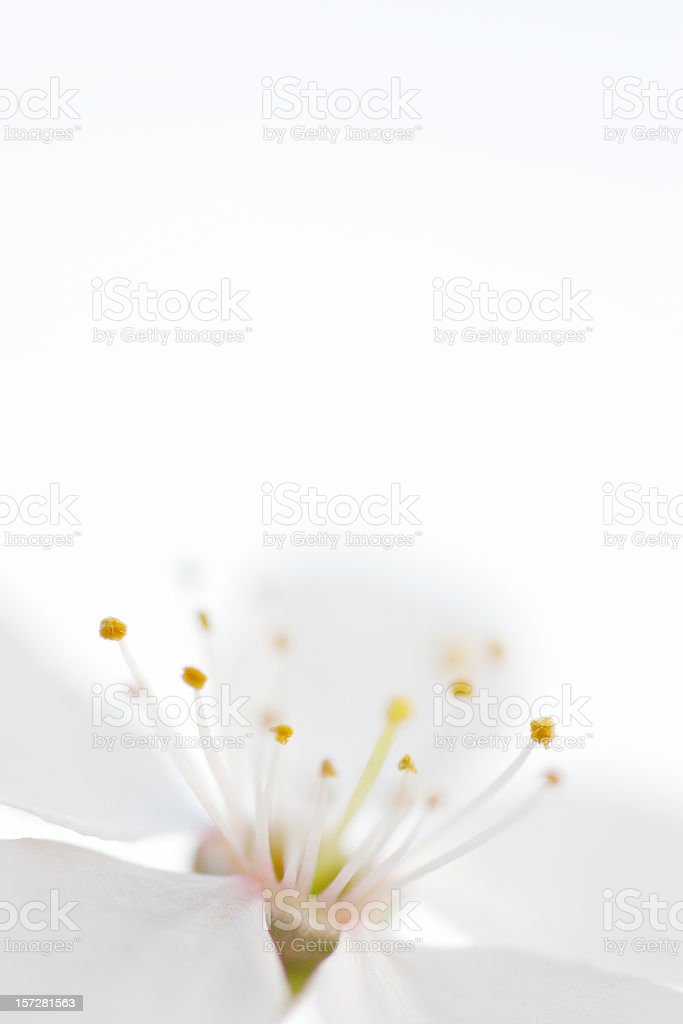 Virgin White royalty-free stock photo
