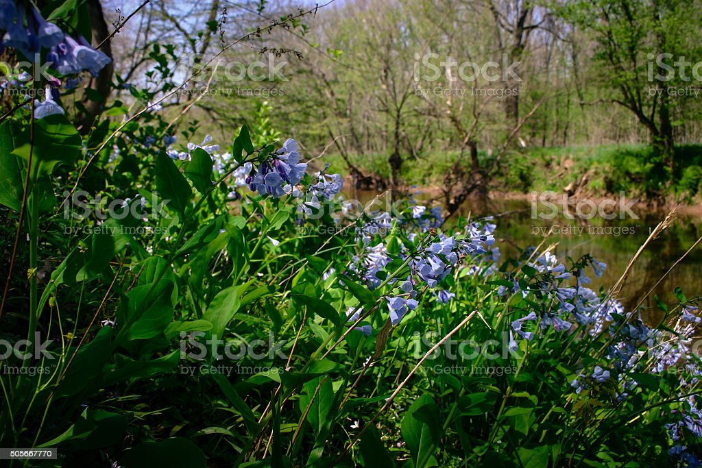 Virginia Bluebells along the Bull Run Tributary stock photo