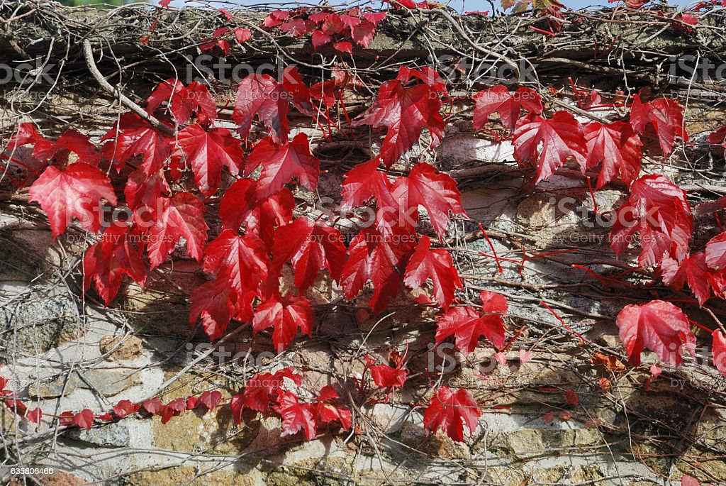 Virginia creeper at autumn stock photo