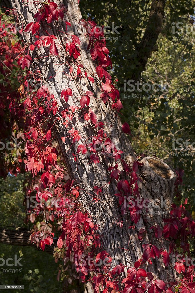 Virginia Creeper In Fall stock photo