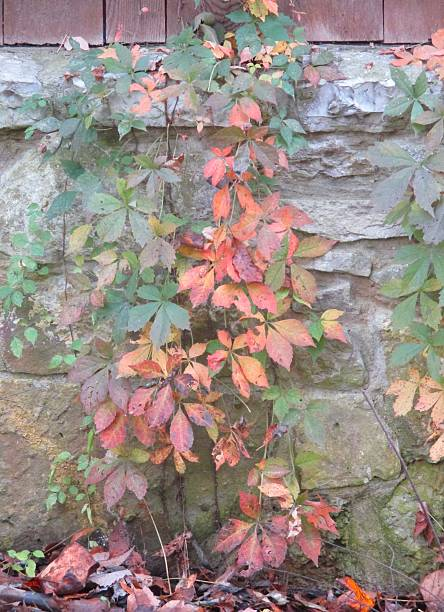 Virginia Creeper in the Fall, Climbing a Wall stock photo