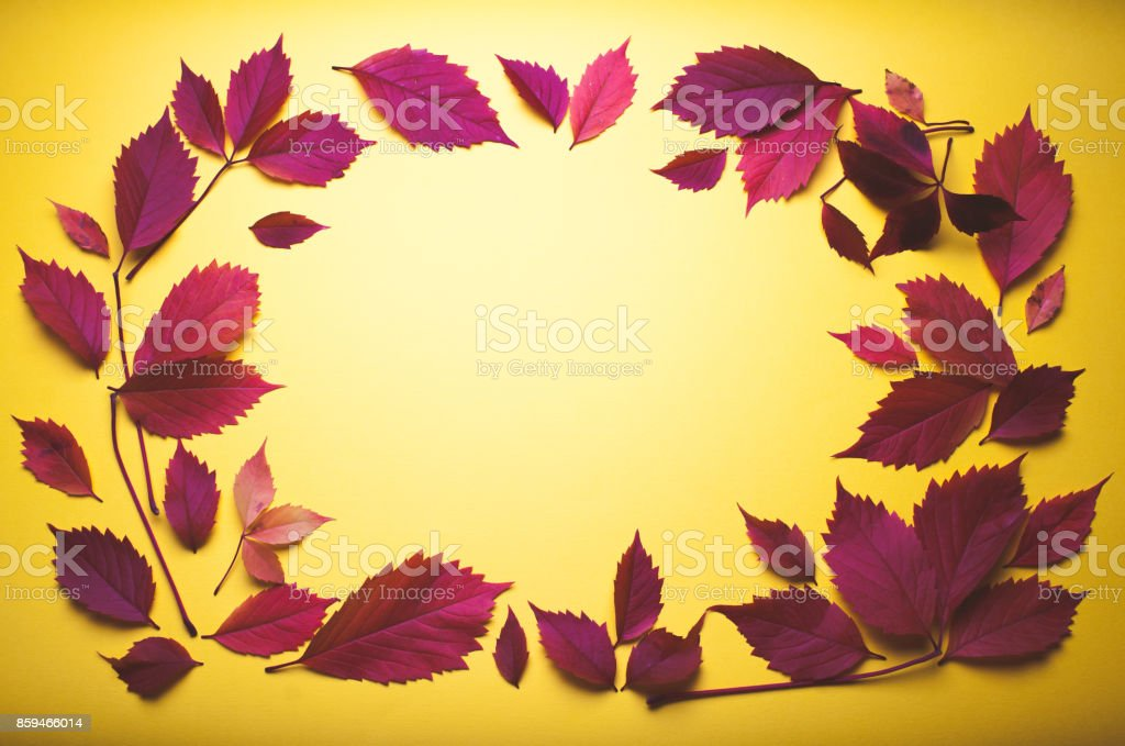 Virginia creeper leaves on yellow background. stock photo