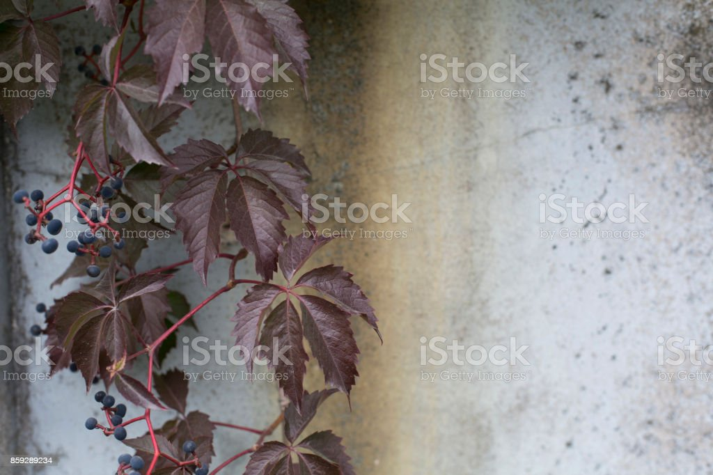 Virginia creeper on a concrete rusty wall background royalty-free stock photo