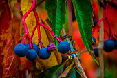 The blue berries of a Virginia Creeper plant contrast with the brilliant fall colors of the leaves surrounding them