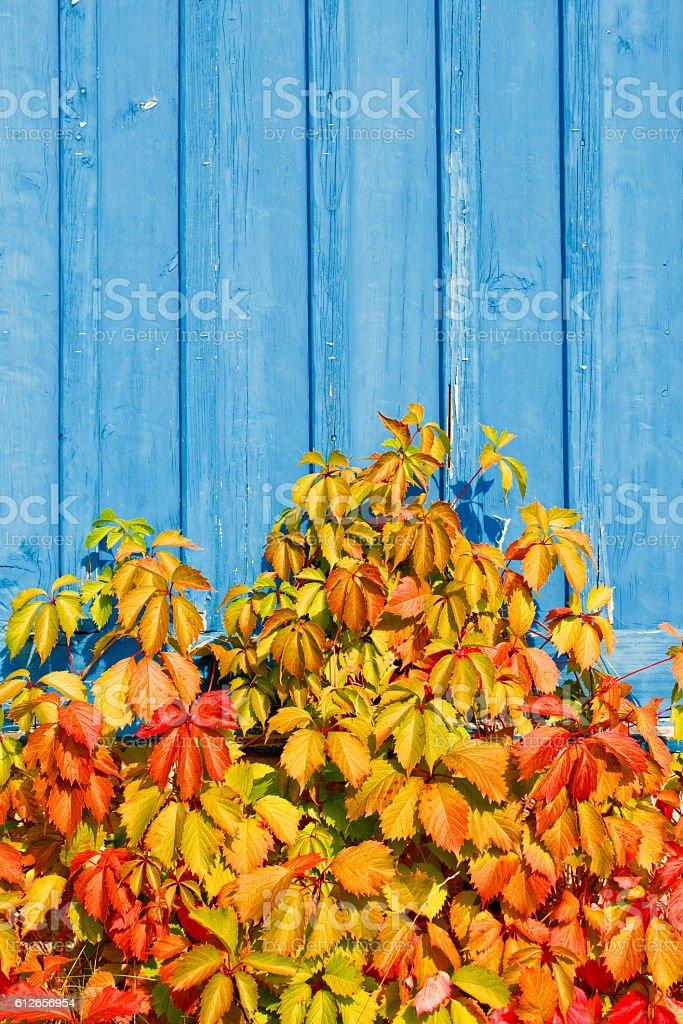 Virginia creeper (Parthenocissus quinquefolia) plant on a blue w stock photo