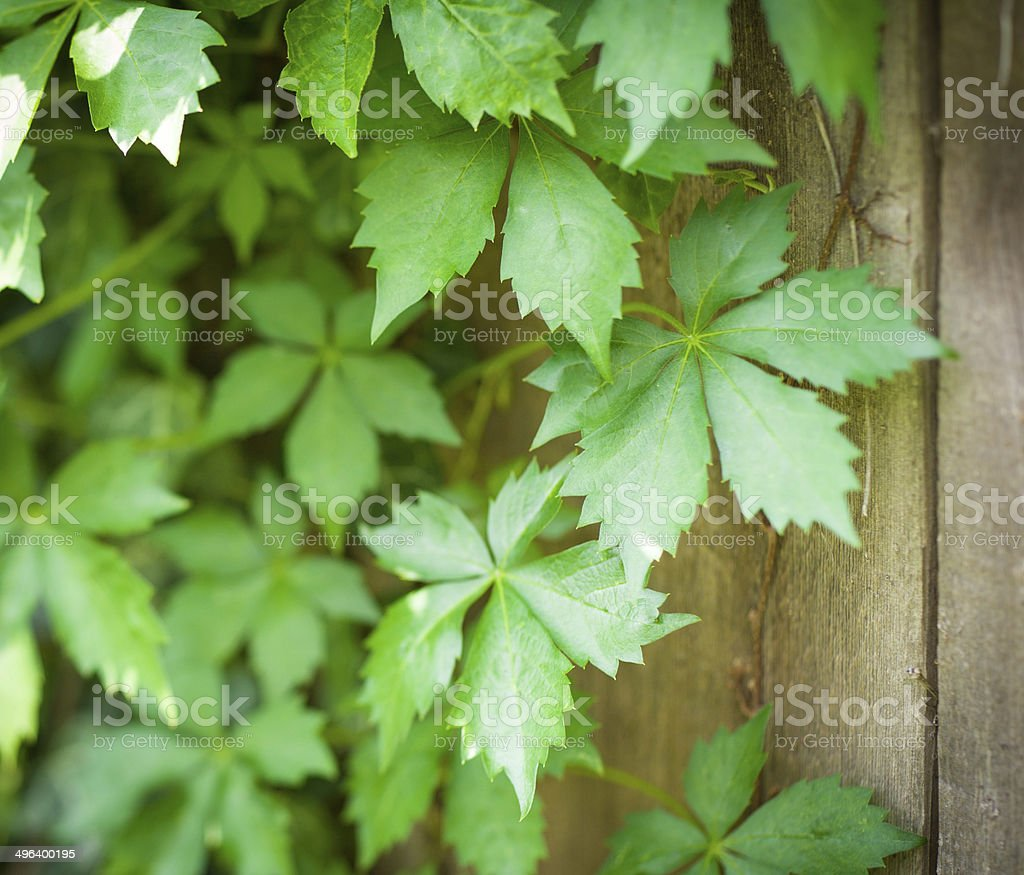 Virginia Creeper Vines on Weathered Wooden Fence Barn Wood stock photo