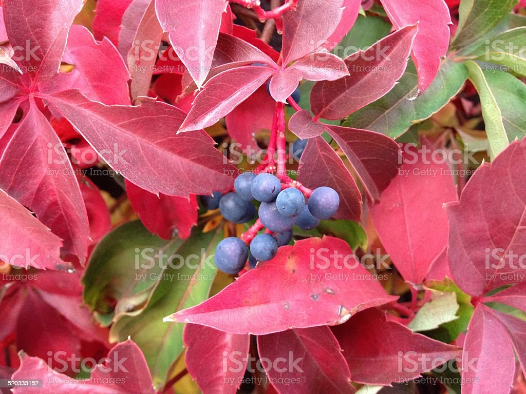 Virginia Creeper with Colorful Leaves and Berries during Fall. stock photo