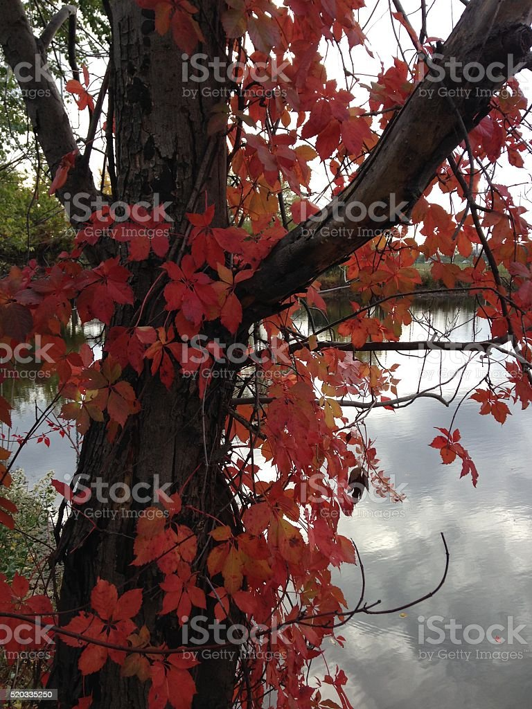 Virginia Creeper with Colorful Leaves during Fall. stock photo