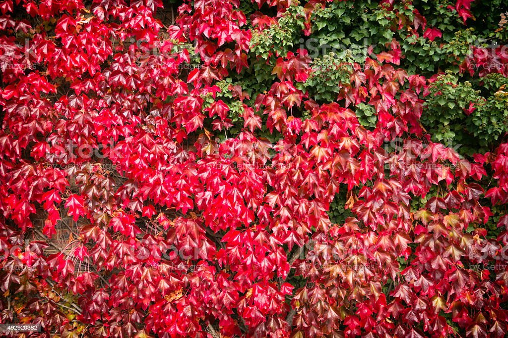 Virginia Creeper with ivy in autumn stock photo