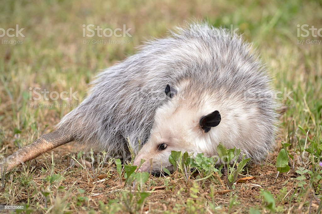 Virginia Opossum stock photo