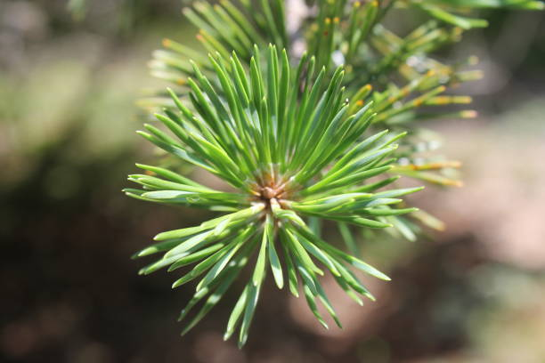 Virginia Pine Stock Photos, Pictures & Royalty-Free Images ...