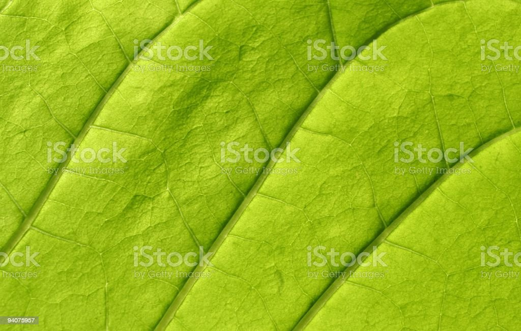 Virginia Tobacco Leaf stock photo