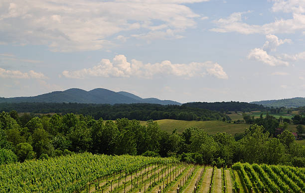 Virginia Vineyard Blue Ridge Mountains in Background stock photo