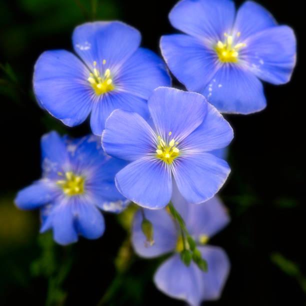 Virginia wildflowers  -  Lewis Flax stock photo
