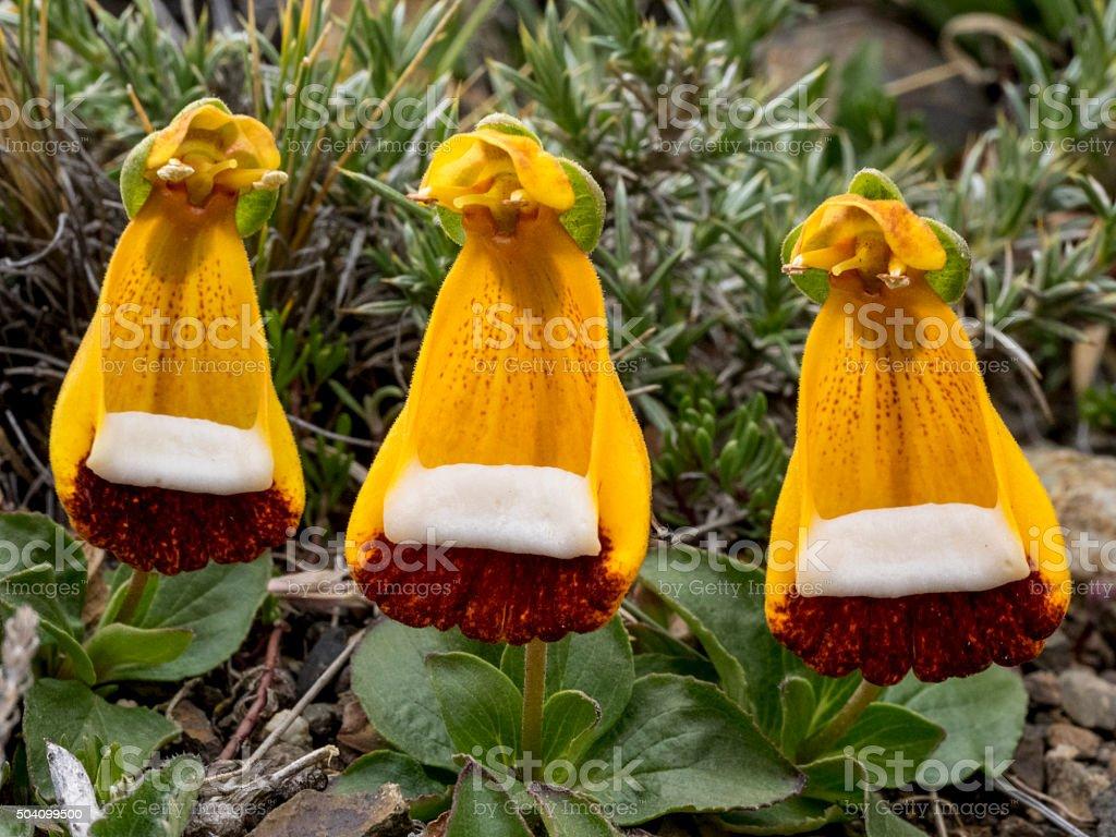 Virgin's slipper Calceolaria uniflora Patagonia Torres del Paine National Park stock photo