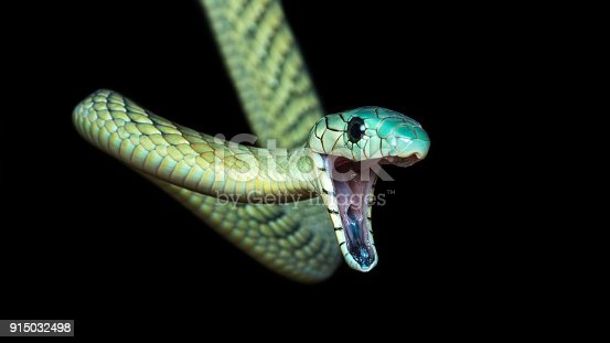 The western green mamba (Dendroaspis viridis), also known as the West African green mamba or Hallowell's green mamba, is a long, thin, and highly venomous snake of the mamba genus, Dendroaspis. This species was first described in 1844 by the American herpetologist Edward Hallowell.