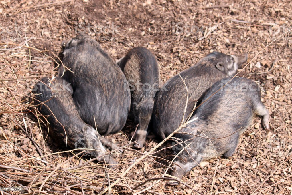 Visayan warty pigs basking in the sun stock photo