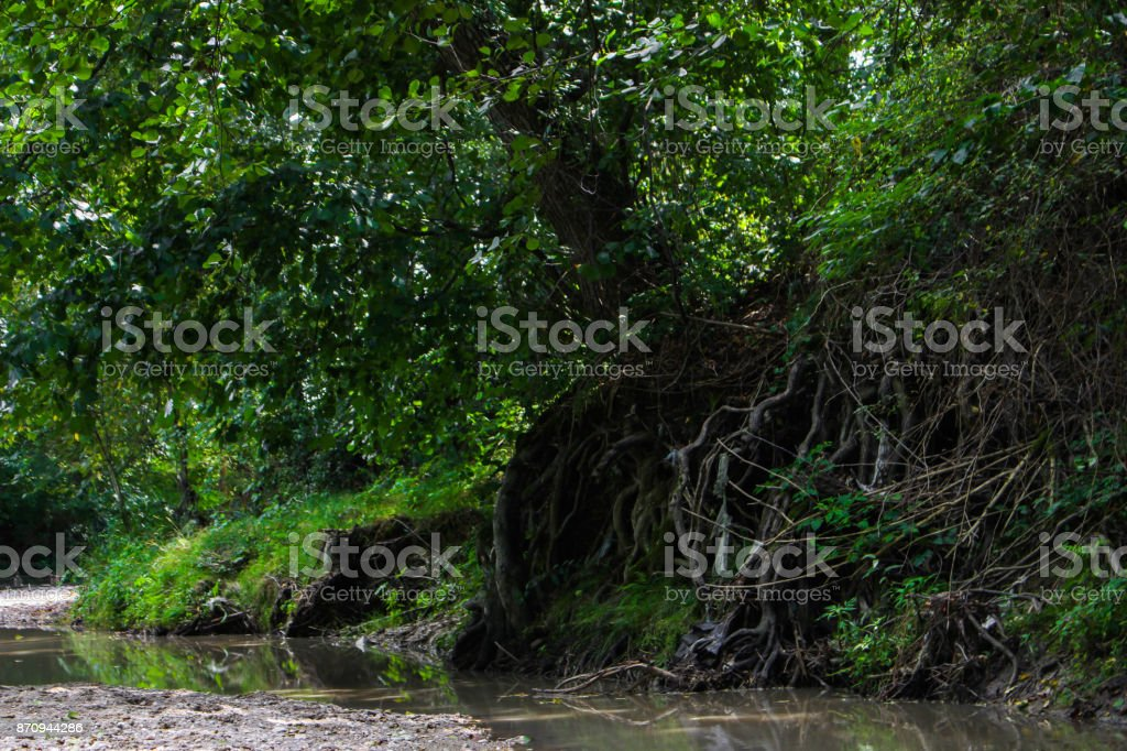 Visible roots in the river stock photo