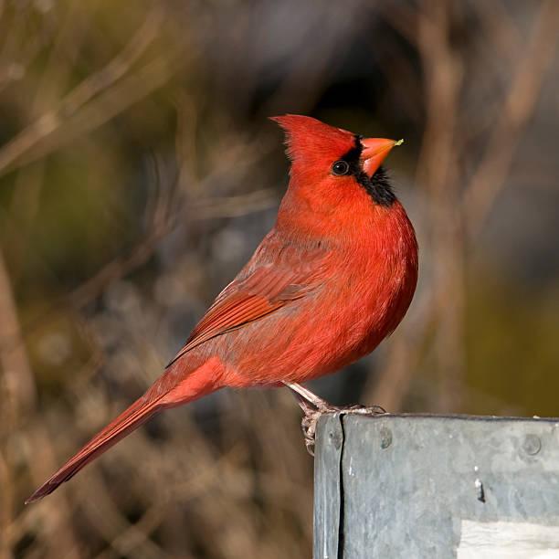 Visiting Cardinal stock photo