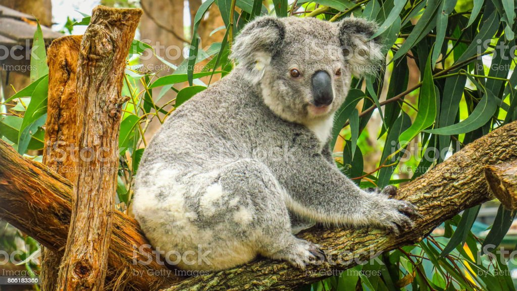 Visiting the koalas stock photo